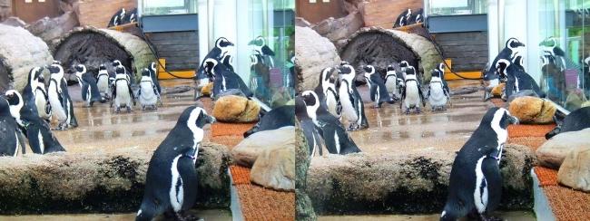 京都水族館 ペンギン④(交差法)