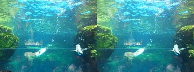 京都水族館 ペンギン③(平行法)