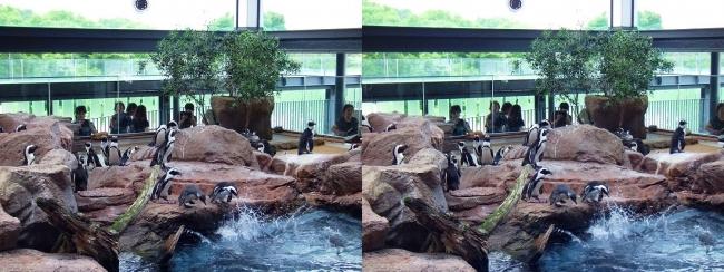 京都水族館 ペンギン⑧(平行法)
