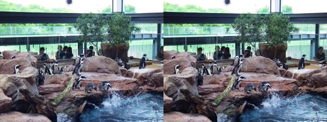 京都水族館 ペンギン⑧(交差法)