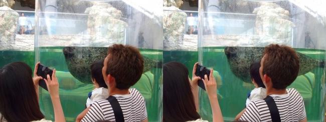 京都水族館 アザラシ①(平行法)
