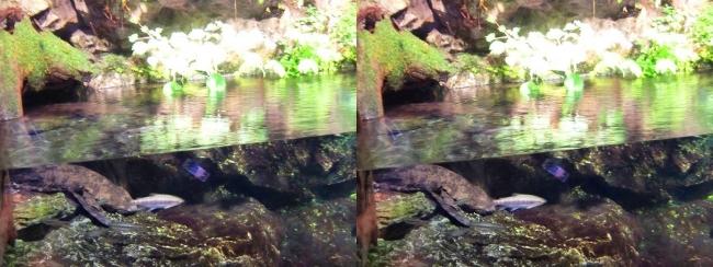 京都水族館 京の川①(交差法)