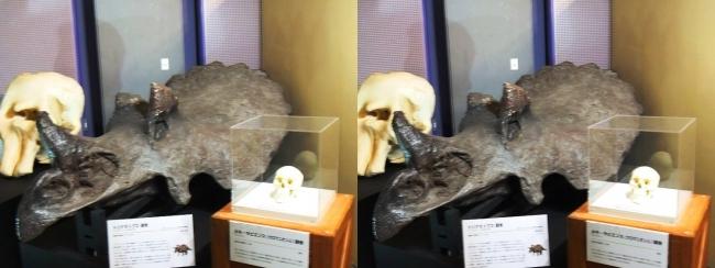 メガ恐竜展2017 ZONE9 トリケラトプス・クロマニオン人頭骨(交差法)