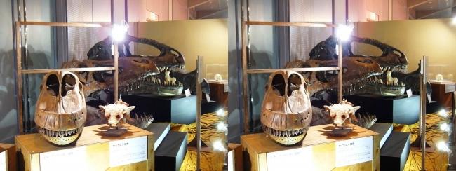 メガ恐竜展2017 ZONE9 ジラッファティタン・サイカニア・ティラノサウルス・ギガノトサウルス頭骨(交差法)