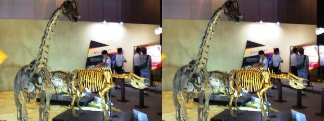 メガ恐竜展2017 ZONE8 エウロパサウルス・ニッポンサイ骨格復元(交差法)