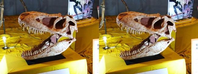 メガ恐竜展2017 ZONE6 タルボサウルス頭骨(平行法)