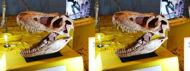 メガ恐竜展2017 ZONE6 タルボサウルス頭骨(交差法)