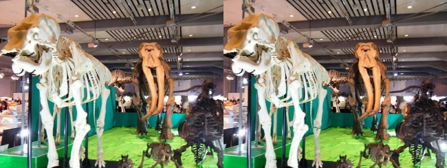 メガ恐竜展2017 ZONE7 天王寺動物園インド象ユリコ・コウガゾウ骨格復元(交差法)