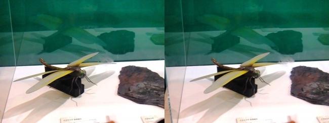 メガ恐竜展2017 ZONE1 メガネウラ生体復元と化石(交差法)