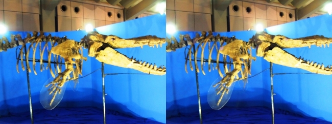 メガ恐竜展2017 ZONE1 カミツキマッコウ骨格復元(平行法)