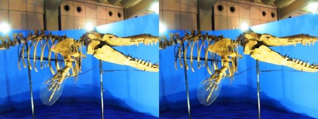 メガ恐竜展2017 ZONE1 カミツキマッコウ骨格復元(交差法)