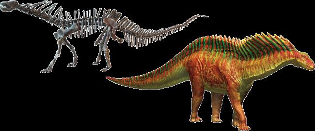 アマルガサウルス 全身復元骨格/復元画
