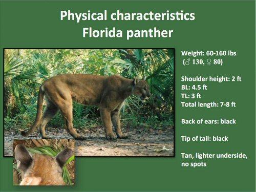 500 characteristics Florida panther
