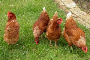 300 chickens