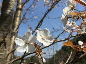 300 山桜