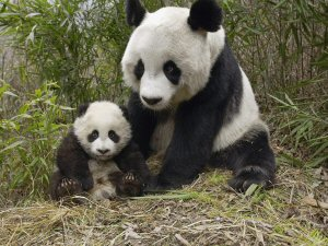 300 panda family