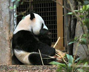 300 panda packs away