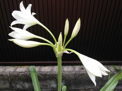 インドハマユウ170706-1