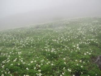 ハクサンイチゲの群落