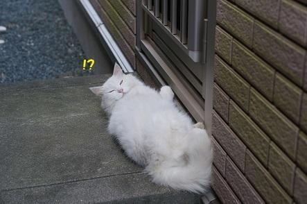 白いもさもさ猫