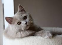 アビシニアン猫
