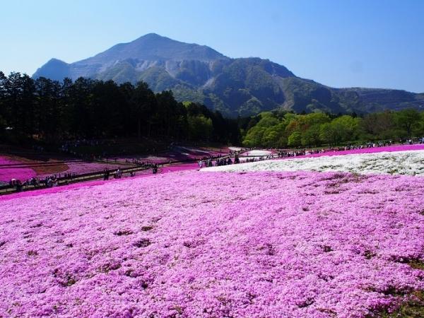 羊山芝桜(1)
