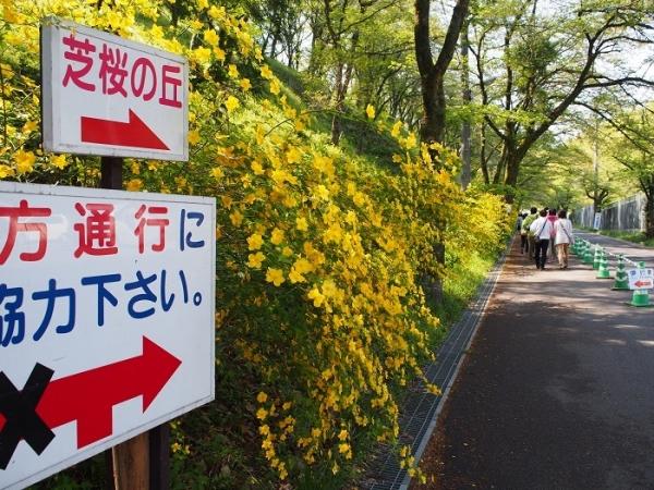 羊山芝桜(4)