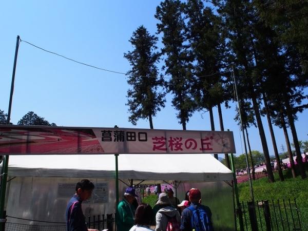 羊山芝桜(5)