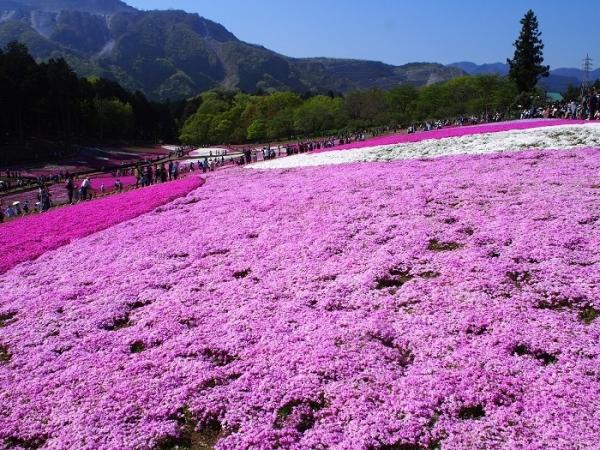 羊山芝桜(10)