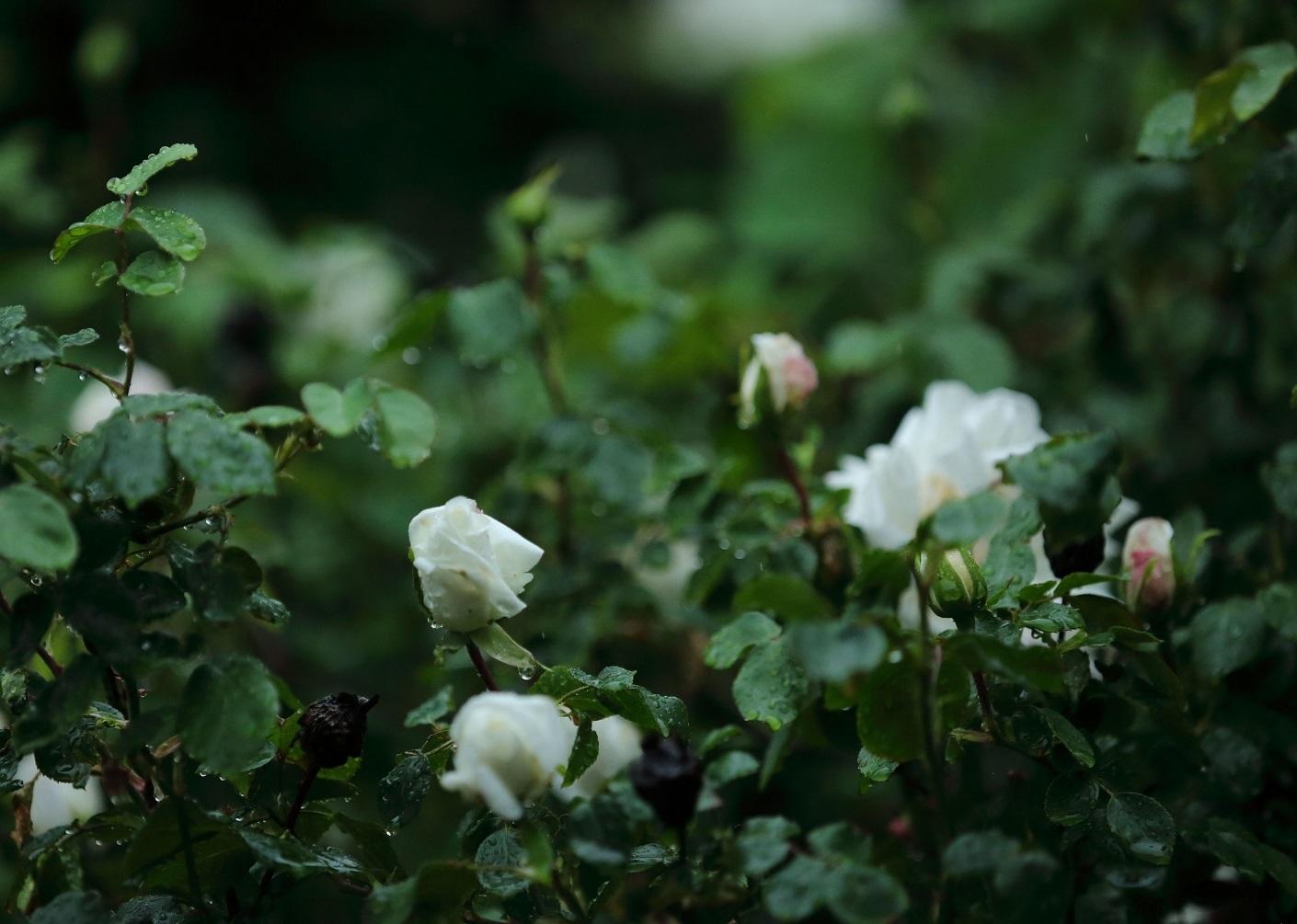 2017 5 13 白雪 雨の中のバラ ブログ用.jpg