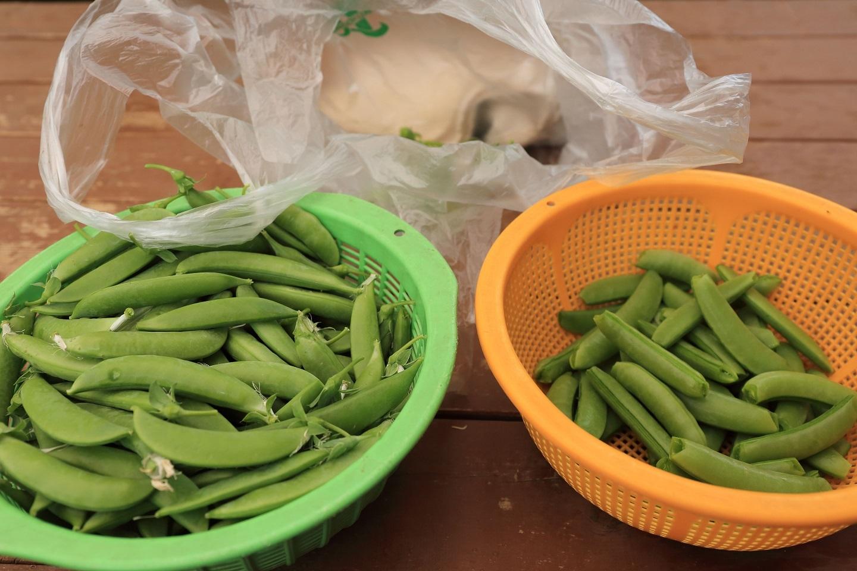 2017 5 14 スナップエンドウの収穫 ブログ用.jpg