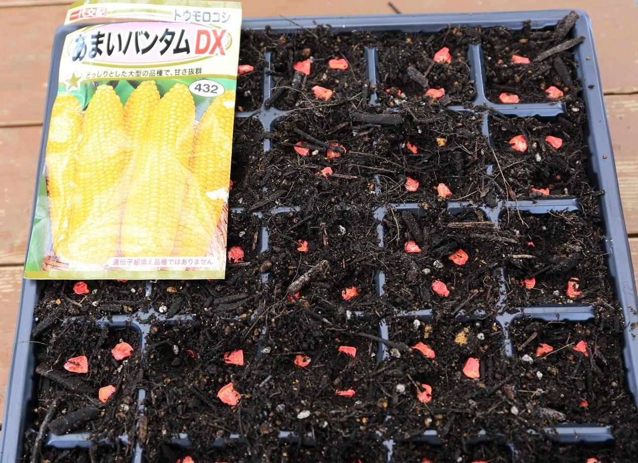 2017 5 16 トウモロコシも種まき ブログ用.jpg