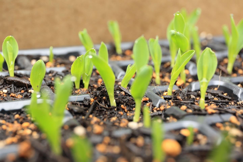 2017 5 25 トウモロコシの発芽 ブログ用.jpg