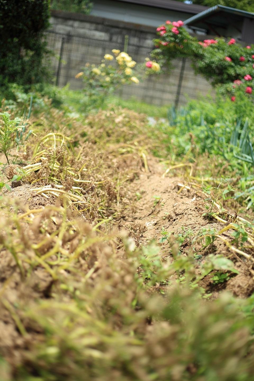 2017 6 26 収穫時期を迎えたジャガイモ ブログ用.jpg