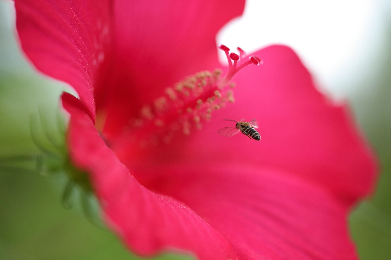 2017 7 30 赤い花と蜂君 ブログ用.jpg