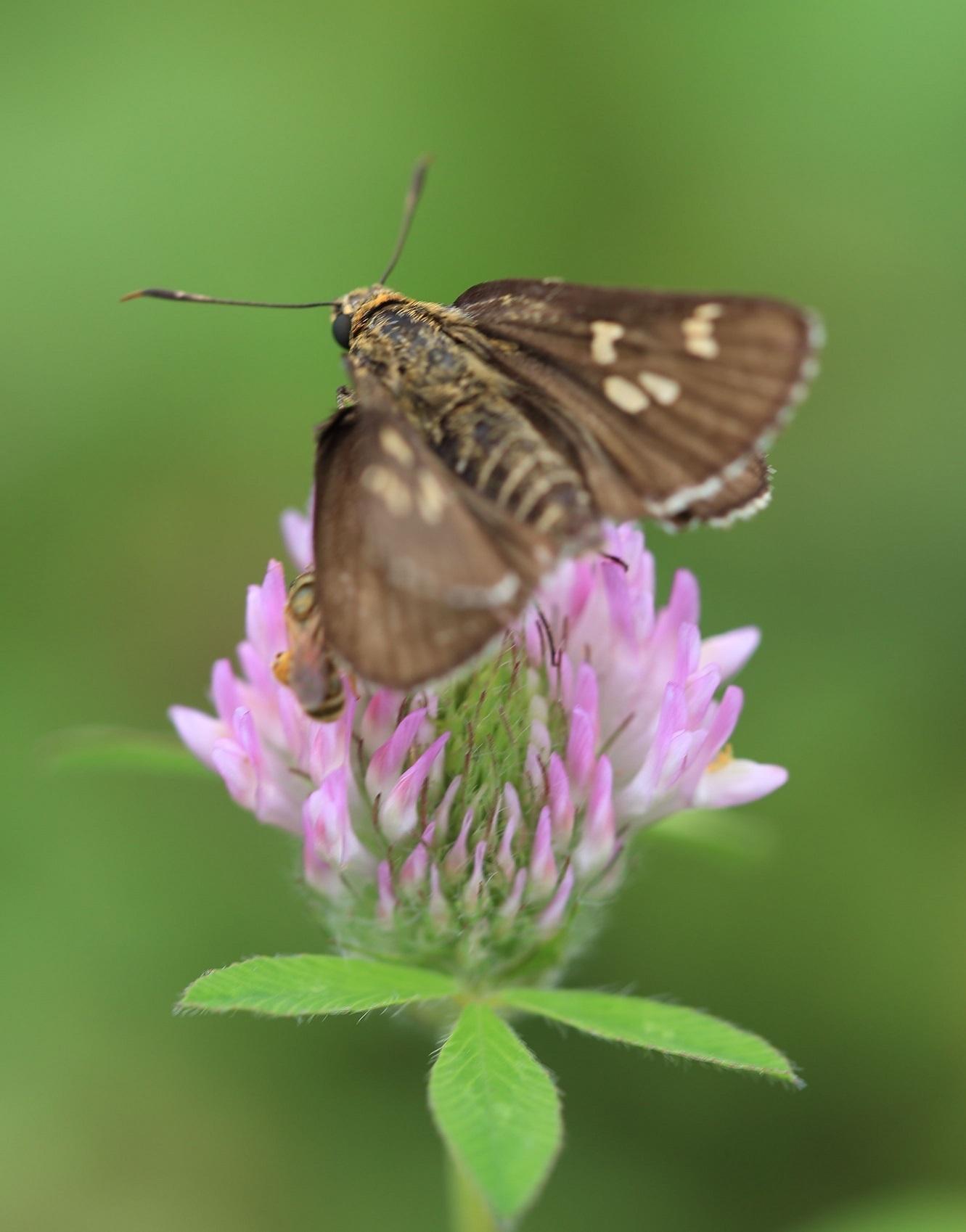 2017 8 2 蝶と蜂のニアミス ブログ用.jpg