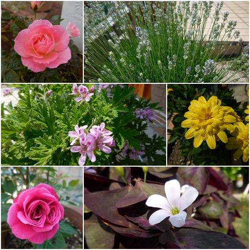 庭の花 5月30日2017