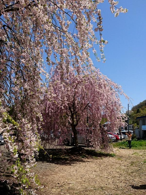 角館枝垂桜