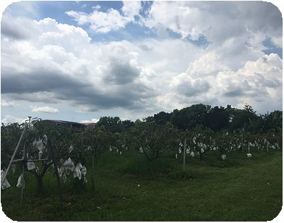 台湾旅行マンゴーの木々