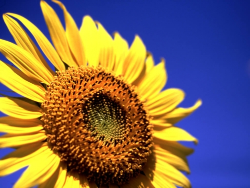 sunflower_11.jpg