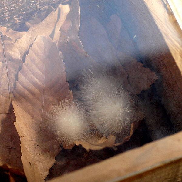【ケセランパサラン】空から「謎の白い綿」が降ってきた、何だこれ…新潟・上越地方で目撃情報が相次ぐ