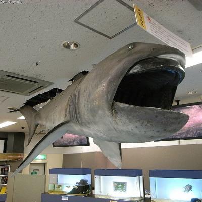 600px-Megamouth_shark_Megachasma_pelagios_201707280215411f9.jpg