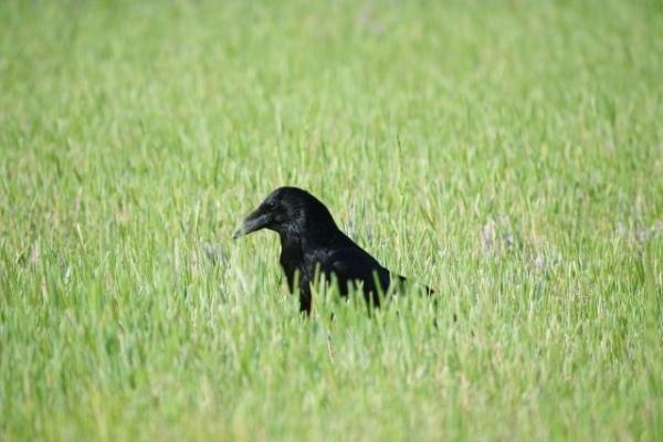 crow7867867.jpg