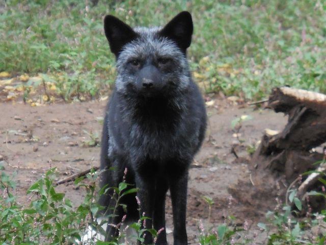 【珍しい】北海道に「黒いキツネ」が出没!突然変異したキタキツネか?