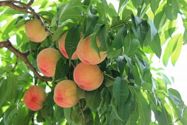 peach4358463.jpg