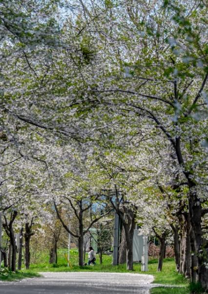 桜の下で@
