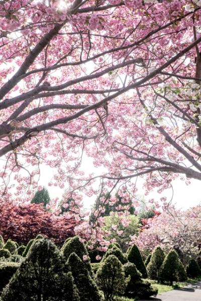 桜のトンネル@