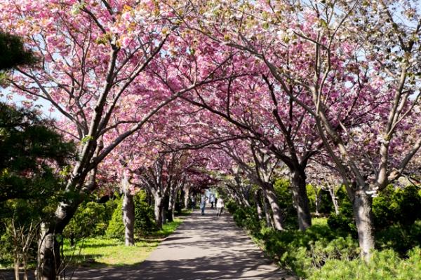 桜のトンネル@@