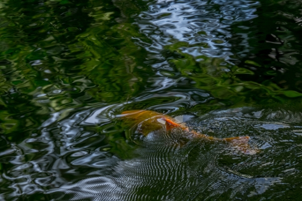 水模様と金魚-1