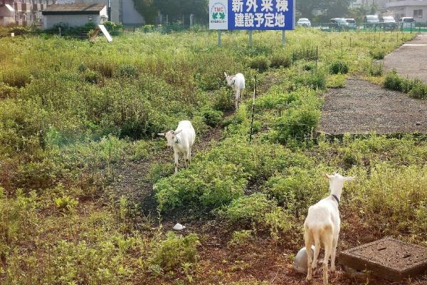 栃木医療センター ヤギ
